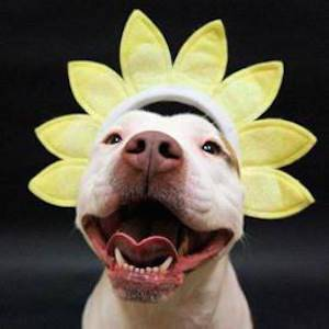 sunflower dog